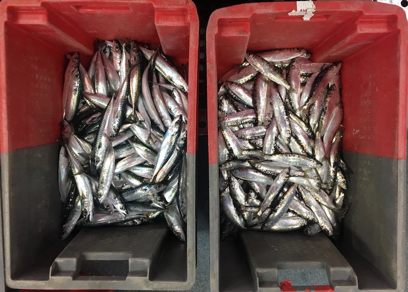 Boxes of sorted mackerel and herring